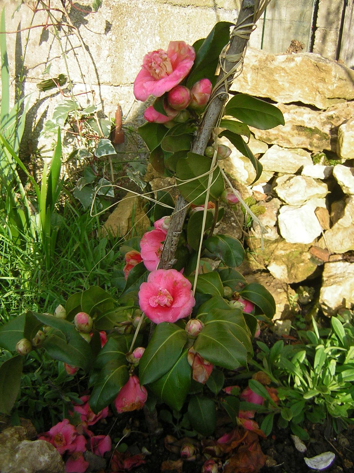 camellia%202.JPG